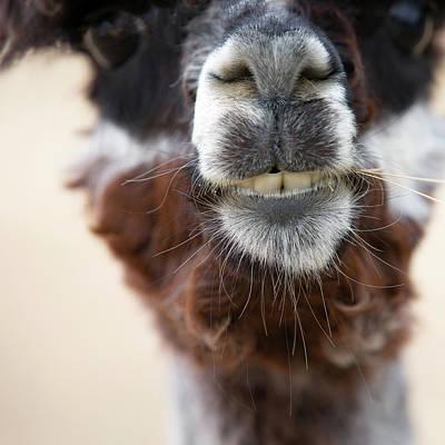 Photograph - Alpaca #1 by Rebecca Cozart
