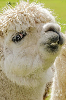 Photograph - Alpaca 2 by Werner Padarin