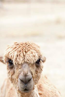 Alpacas Photograph - Alpaca #3 by Rebecca Cozart