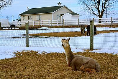 Photograph - Alpaca And Amish Schoolhouse In Winter by Tana Reiff