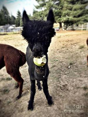 Photograph - Alpaca Apple by Vennie Kocsis