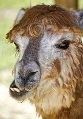 Photograph - Alpaca by Bob Slitzan