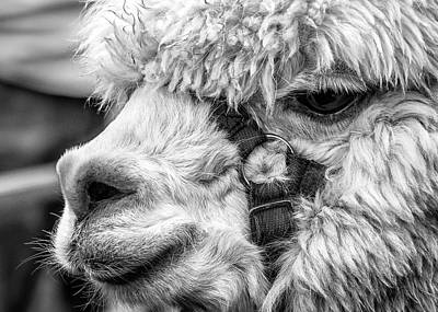 Photograph - Alpaca Close by Nick Bywater