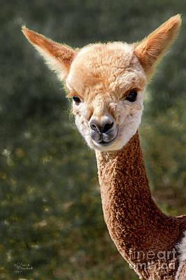 Photograph - Alpaca by David Millenheft