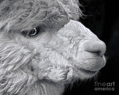 Photograph - Alpaca by Linsey Williams