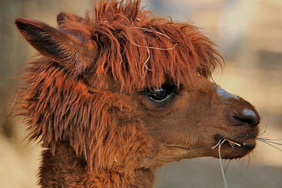Photograph - Alpaca Portrait by Sheila Brown