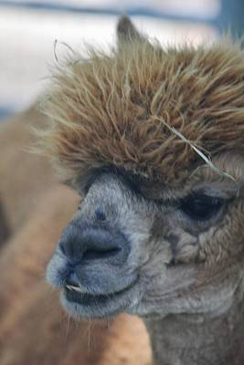 Photograph - Alpaca Portrait by Vadim Levin