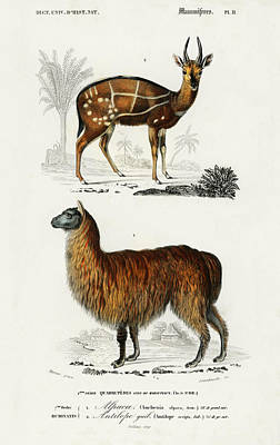 Painting - Alpaca Vicugna Pacos And Antilope Guib by Charles Dessalines D' Orbigny