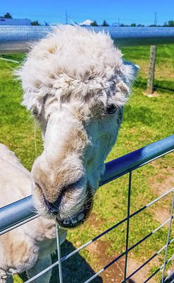 Photograph - Alpaca Yeah by Jonny D