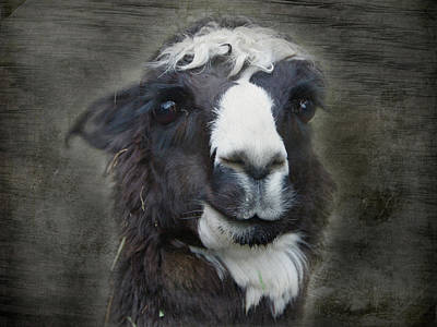 Photograph - Alpaca1 by Marilyn Wilson