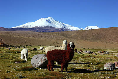 Alpacas And Guallatiri Volcano Chile Art Print by James Brunker