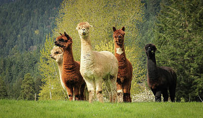 Photograph - Alpacas by Katie Wing Vigil