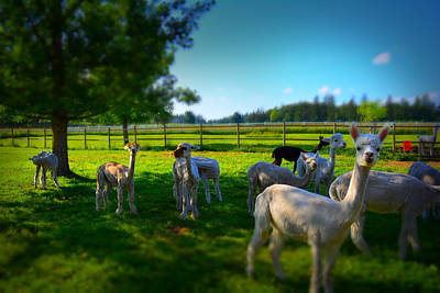 Photograph - Alpacas by Theresa Pausch