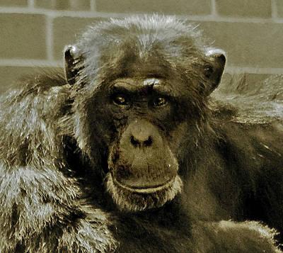 Photograph - Alpha Chimp  by Miroslava Jurcik