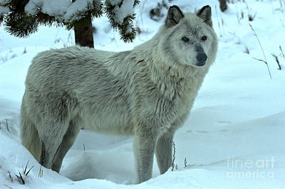 Photograph - Alpha In The Snow by Adam Jewell