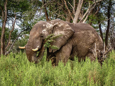 Photograph - Alpha Male Elephant by Gregory Daley  PPSA