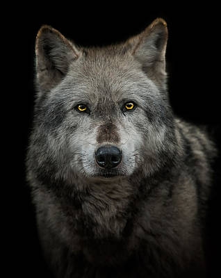 Wolves Photograph - Alpha Male  by Paul Neville