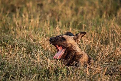 Photograph - Alpha Wild Dog Of Botswana by Kay Brewer