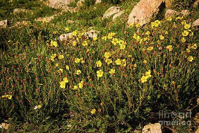 Photograph - Alpine Avens by Jon Burch Photography