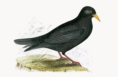 Alpine Chough Print by English School