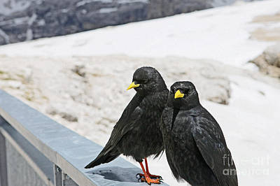 Photograph - Alpine Choughs by Liz Alderdice