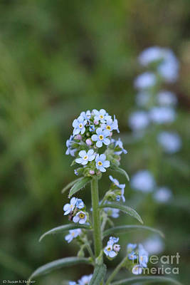 Photograph - Alpine Forget Me Not by Susan Herber