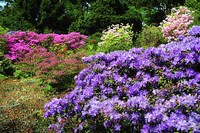 Photograph - Alpine Garden With Purple Rhododendrons by Jenny Rainbow
