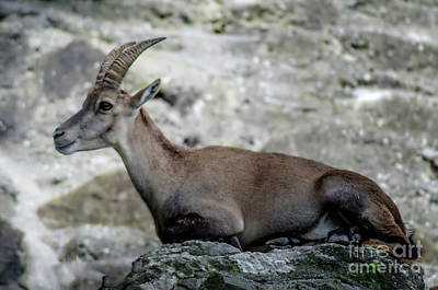 Photograph - Alpine Ibex by Michelle Meenawong