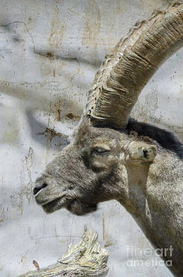 Photograph - Alpine Ibex Textured by Michelle Meenawong