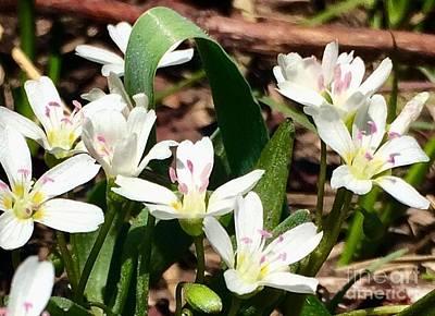 Photograph - Alpine Lily by Jennifer Lake