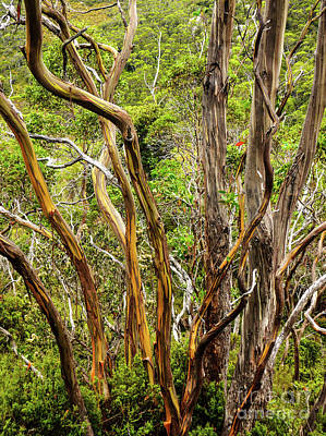 Photograph - Alpine Snow Gums by Lexa Harpell