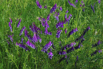 Art Print featuring the photograph Alpine Vetch by Robyn Stacey