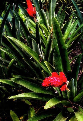 Photograph - Alpinia Ginger Flower by Joseph Hollingsworth