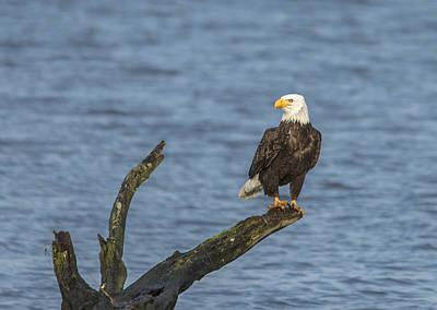 Oregon Photograph - Alsea River Eagle by Loree Johnson