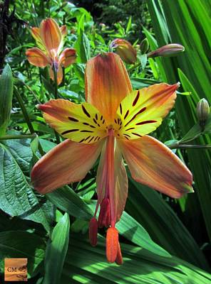 Photograph - Alstroemeria Flower by Sheila Mcdonald
