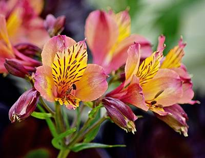 Photograph - Alstroemeria by Lynda Anne Williams