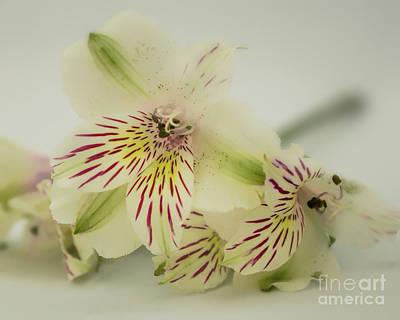 Photograph - Alstroemeria by Olga Hamilton