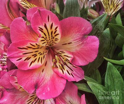 Photograph - Alstroemeria Sunshine by Steven Parker