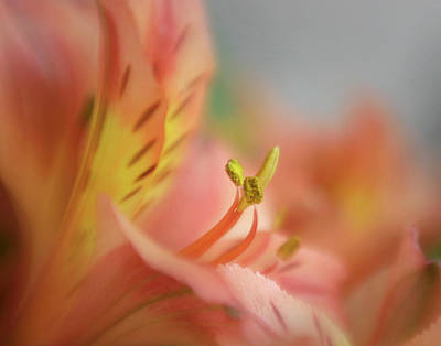 Photograph - Alstromeria Aurea Macro by David and Carol Kelly
