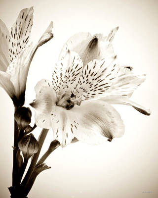 Alstromeria Lily Art Print by John Pagliuca
