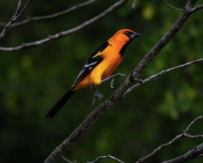 Photograph - Altamira Oriole - Limb Hopping by Debra Martz