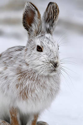 Snowshoe Hare Photograph - Alter by Tony Beck