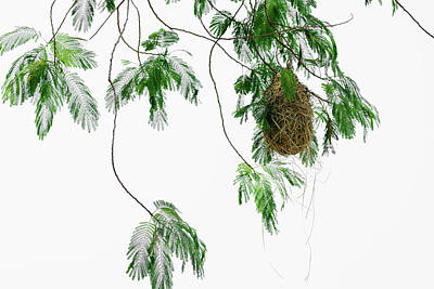 Photograph - Altamira Oriole - Intricately Woven Nest  - Horizontal Format by Debra Martz
