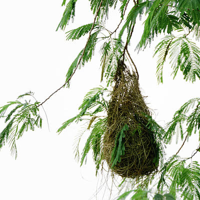 Photograph -  Altamira Oriole - Intricately Woven Nest  - Square Format by Debra Martz