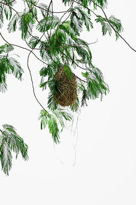 Photograph - Altamira Oriole - Intricately Woven Nest  - Vertical Format by Debra Martz