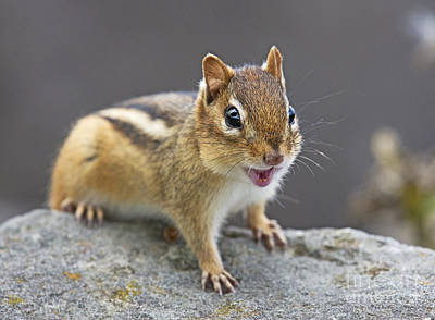 Chipmunk Photograph - Alvinnn... by Nina Stavlund