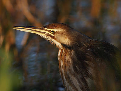 Photograph - Am Bittern by Charles McKelroy