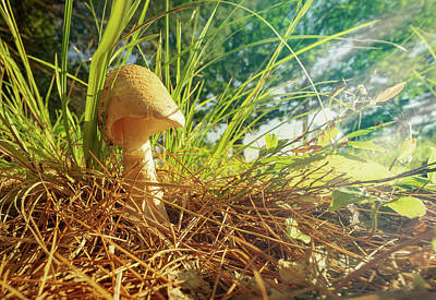 Photograph -  Amantia Muscaria Mushroom by Bob Orsillo