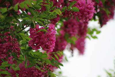 Amaranth Pink Flowering Locust Tree In Spring Rain Art Print