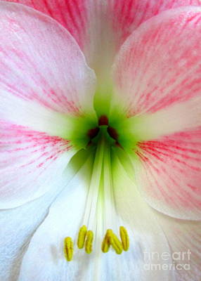 Photograph - Amaryllis 1 by Randall Weidner